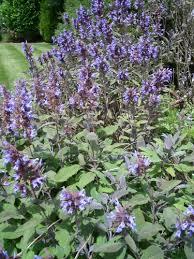 Flowering Sage Plant