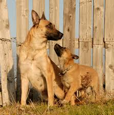belgian sheepdog chow mix 25 cute mama dogs and their puppies for mother u0027s day pics dogtime