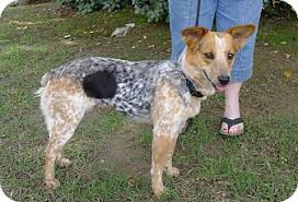 australian shepherd yorkshire terrier mix polly adopted dog allentown pa australian shepherd