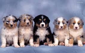 3 australian shepherd mix puppies for adoption australian shepherd puppies free wallpapers saveourpuppy com