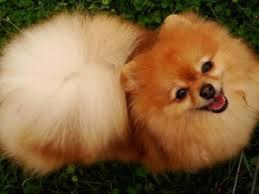 affenpinscher brown dog breeds a comprehensive list of dog breed profiles petmd