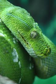 750 best constrictors images on pinterest beautiful snakes