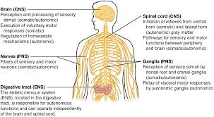 Structure Of Human Anatomy Basic Structure And Function Of The Nervous System Anatomy And