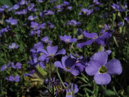 Rock Garden Plants Uk by Rock Cress Ground Cover Information On Growing And Care Of Rock