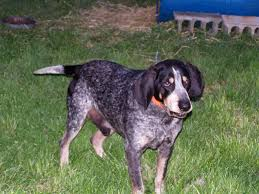 bluetick coonhound oregon coondawgs com coonhound classifieds and message forum