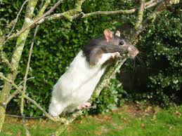 Rat climbing in tree