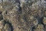 Image result for Cyphastrea agassizi