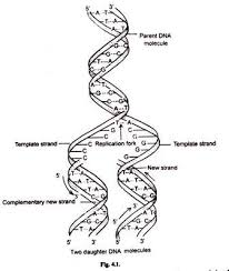 Mode of DNA replication  Meselson Stahl experiment  article     Replication Fork