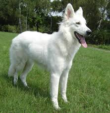 belgian shepherd uk breeders white shepherd wikipedia