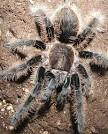 Tarantula - Big, Hairy, Scary Spider | Animal Pictures and Facts ... factzoo.com
