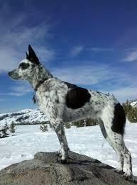 australian shepherd queensland heeler one of the coolest looking dogs i u0027ve ever seen pics