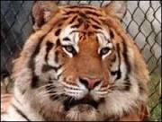 Tigre mata leão com uma só patada em zoológico na Turquia