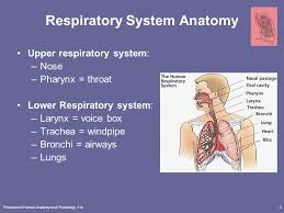 Anatomy And Physiology Of Lungs Principles Of Human Anatomy And Physiology 11e1 Chapter 23 The