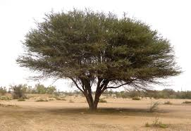 Acacia ehrenbergiana