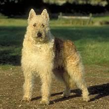 belgian sheepdog breeders in texas belgian shepherd puppies for sale