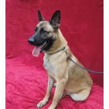 belgian shepherd nc dogs polyvore