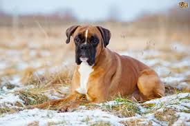 boxer dog uk the top ten most popular registered dog breeds in the uk pets4homes