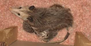 How Do You Get Rid Of Possums In The Backyard by How To Get Rid Of Opossums Possums