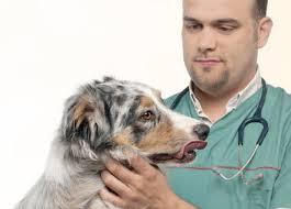 australian shepherd diseases learn about the australian shepherd dog breed from a trusted