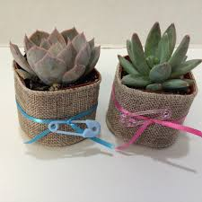 succulent plants assortment of 40 baby shower favor