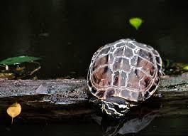 Mekong snail-eating turtle