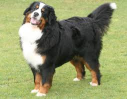 That Beautiful Gently Giant - The Bernese Mountain Dog