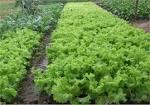 การปลูกผักปลอดสารพิษ   kanlayakwan22