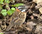 Rufous-collared Sparrow, Zonotrichia capensis | Nature Notes