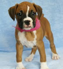 boxer dog uk 1341 best boxer dogs images on pinterest boxer love animals and