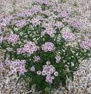 Image result for Achillea sibirica