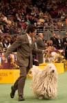 File:Komondor Westminster DOG SHOW.jpg - Wikipedia, the free ...