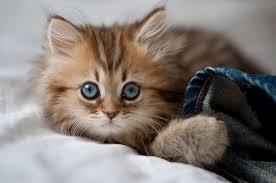 لمحبي القط ولا أروع images?q=tbn:ANd9GcR