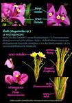 ดอกและส่วนประกอบของดอก : Bougainvillea