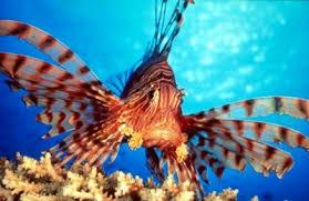 دجاج البحر,تعرفى على سمكة دجاجه البحر images?q=tbn:ANd9GcR