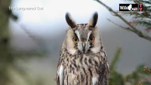an introduction to the long eared owl asio otus by wild owl