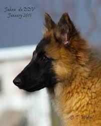 belgian sheepdog breeders in texas intention hill belgian shepherds blackbelly sheep