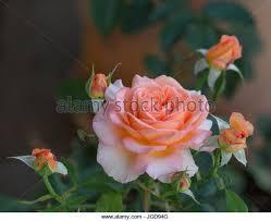 apricot color flower stock photos u0026 apricot color flower stock