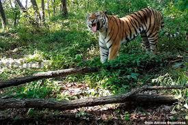 Что теперь будет с козлом Тимуром после нападения тигра Амура?