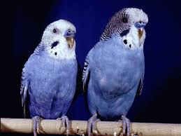 انواع العصافير انواع الطيور انواع