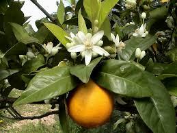 """Blog de poetasdobrasil : Literatura Brasileira: Poesia, Intertextualidade e par�dia: """"laranjas & laranjais"""" - """"Meus oito anos"""" de Casemiro e Oswald"""