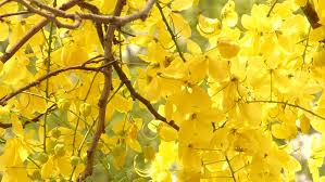 Tree With Bright Yellow Flowers - bright yellow autumn leaves on branches of a tree shot against the