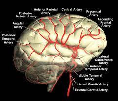Brain Mri Anatomy Blood Vessels Of The Brain Internet Stroke Center