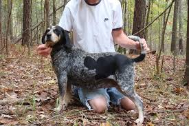 training a bluetick coonhound to hunt started dogs at bluetick 1 kennels bluetick1kennels www