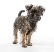 oldest affenpinscher affenpinscher dogs breed information omlet
