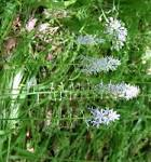 Image result for Camassia scilloides