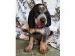bluetick coonhound puppies for sale in ohio view ad bluetick coonhound puppy for sale washington spokane usa