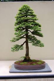 best in the northwest u0027 at the pacific rim bonsai collection