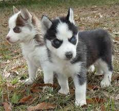 husky x australian shepherd for sale miniature husky