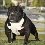 pit bull bloodline