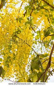 Tree With Bright Yellow Flowers - golden shower tree golden rain tree stock photo 403605244